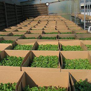 5000 Feldsalat-Pflanzen stehen bereit